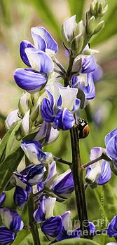 Springtime Bluebonnet by Char Doonan