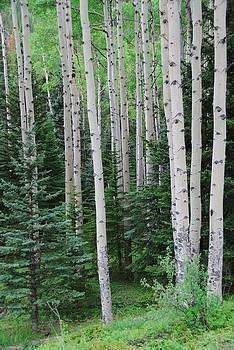 Springtime in an Aspen Forest by Cascade Colors