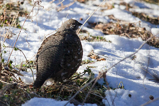 Spruce Grouse by Chris Heitstuman