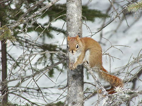 Squirrel 4 by Gene Cyr