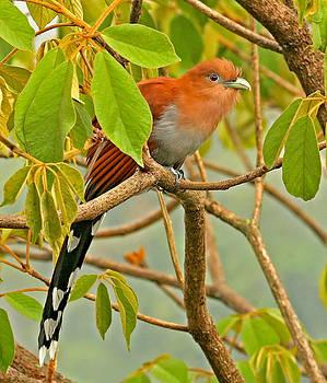 Peggy Collins - Squirrel Cuckoo in Costa Rica
