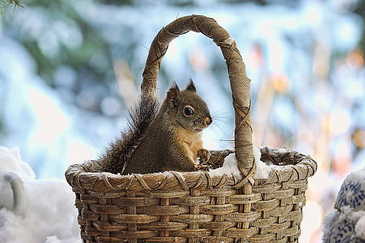 Peggy Collins - Squirrel in a Snowy Basket in Winter