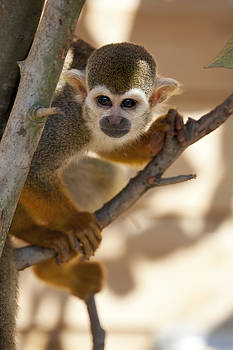 Squirrel Monkey by Gillian Dernie