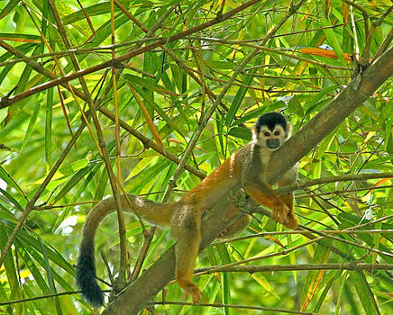 Peggy Collins - Squirrel Monkey in the Jungle