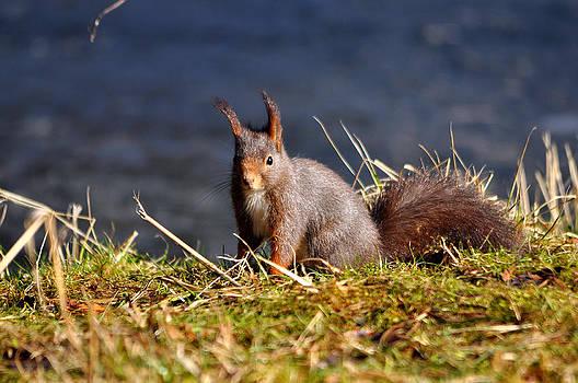 Squirrel On The Ground by Steen Hovmand Lassen