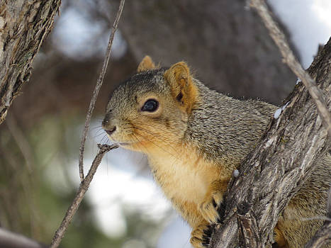 Squirrel on the Lookout by Margaret  Slaugh