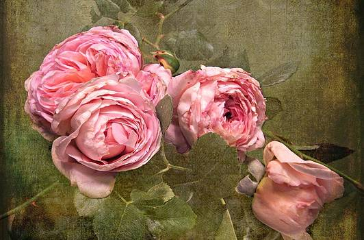 Abraham Darby Rose by Shirley Sirois