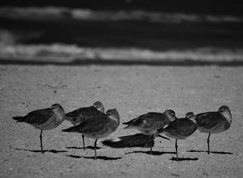 St. Pete Sandpipers trying to stay warm by Tara Miller