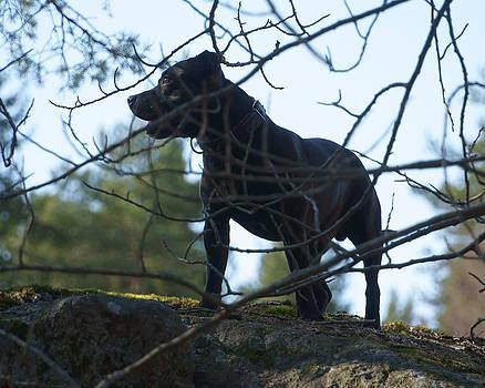 Staffordshire Bull Terrier by Evgeny Lutsko