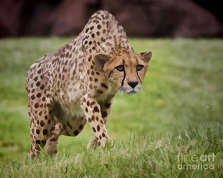 Stalking Cheetah by Mike Mulick