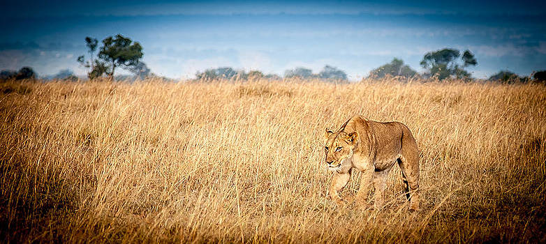 Stalking Lion by Jim DeLillo