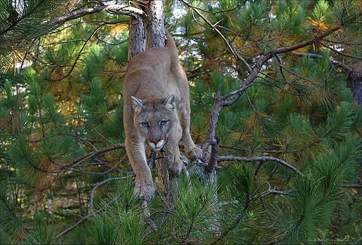 Stalking Mountain Lion by Daniel Behm