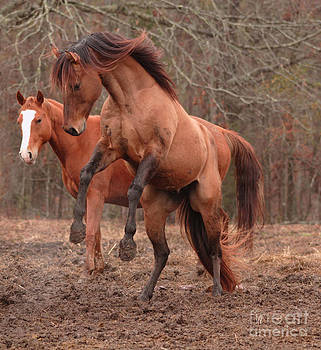 Stallion Rearing by Russell Christie