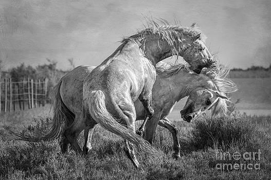 Stallions by Heather Swan