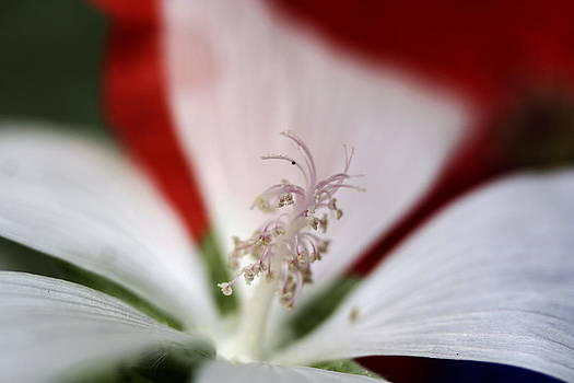 Stamen  by Carolyn Reinhart