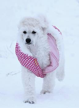 Standard Poodle In Winter by Lisa  DiFruscio