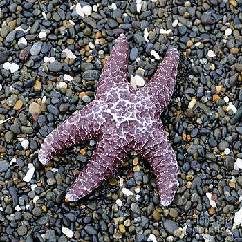Sarah Schroder - Starfish 2 Waiting for the Tide Square Format