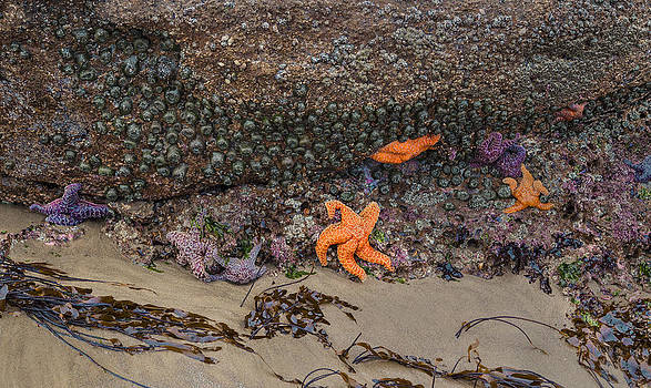 Nathan Mccreery - Starfish and Barnacles  McPhillips Beach  Oregon