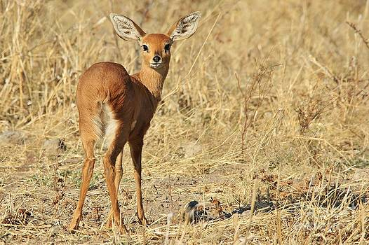 Hermanus A Alberts - Steenbok - Shy and Elusive Wildlife