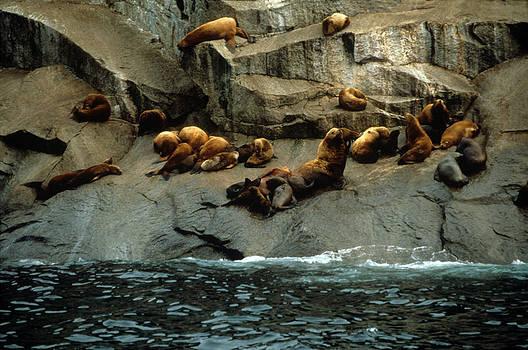 Harold E McCray - Steller Sea Loins - Resurrection Bay