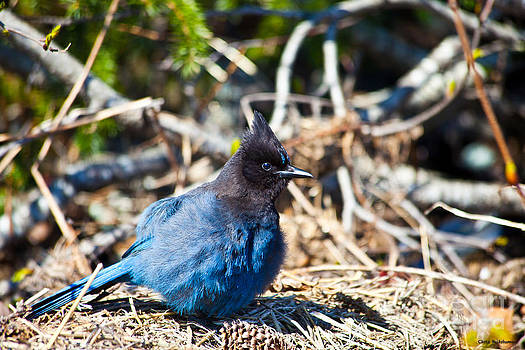 Steller's Jay by Chris Heitstuman