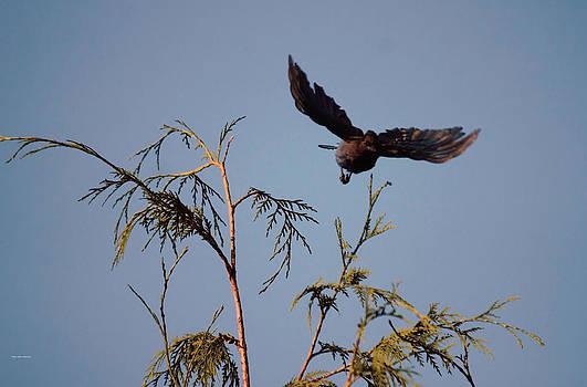 Stellers Jay In Flight by Ed Nicholles