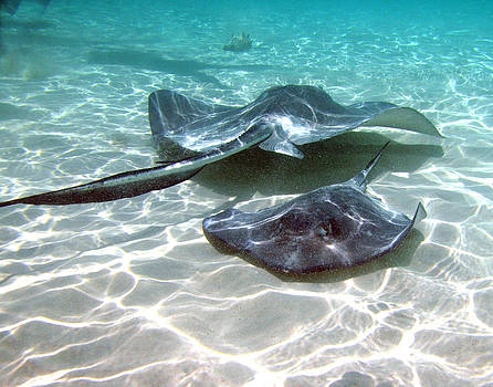 Sting Ray 2 by Al Perry
