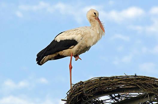 Stork on nesting platform by David Davies