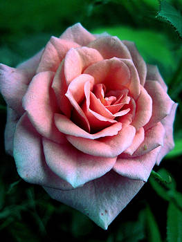 Gilbert Photography And Art - Stormy Morning Rose