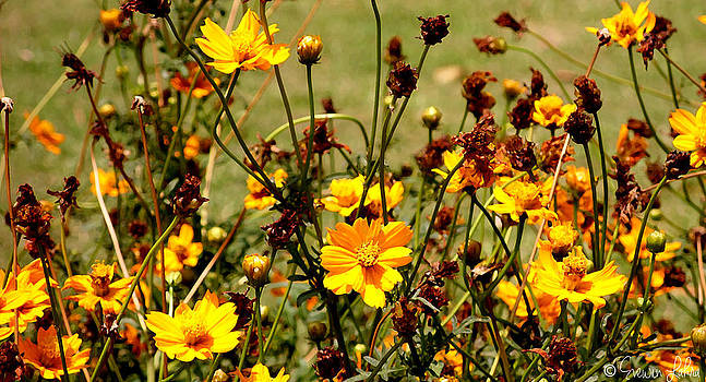 Story Of A Yellow Cosmos by Evewin Lakra