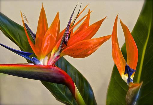 Venetia Featherstone-Witty - Strelitzia Reginae Bird of Paradise