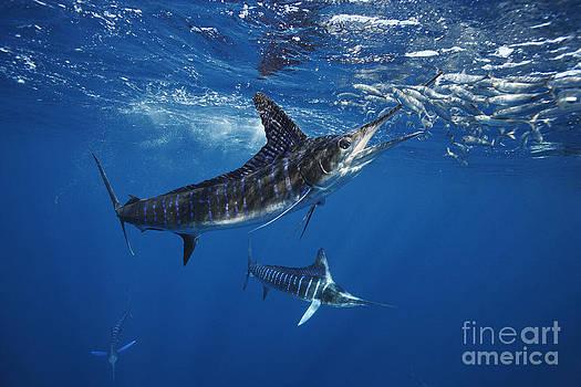 Striped Marlin Feeding On Baitball Of Sardines by Brandon Cole