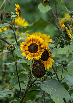 Striped Sunflower by Guy Whiteley