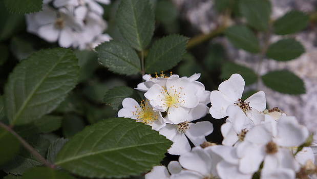 Dawn Hagar - Strong smelling white flower