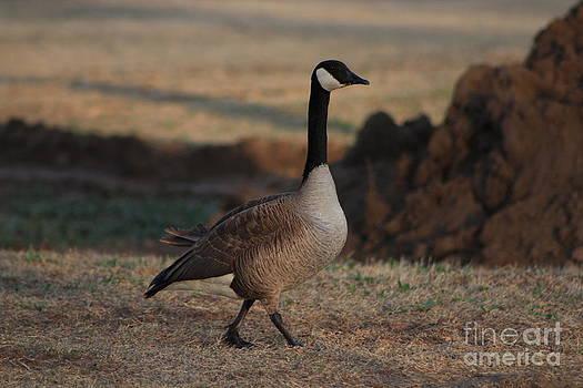 Strutting Canadian Goose by Robert D  Brozek