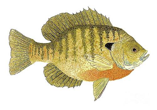 Study of a Bluegill Sunfish by Thom Glace