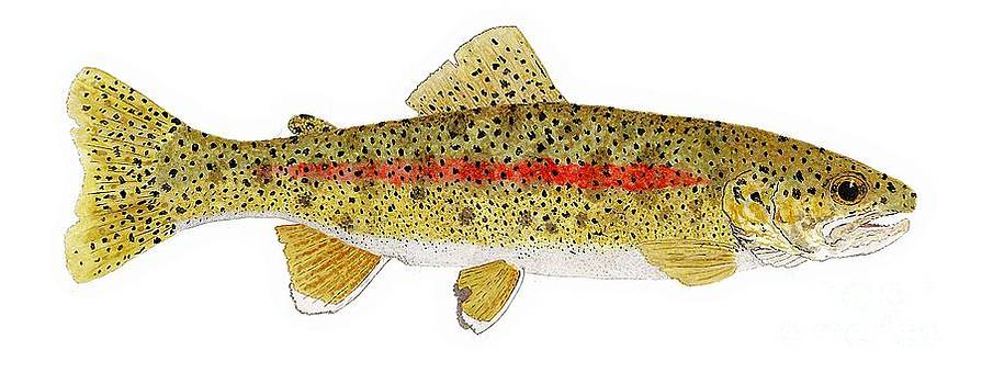 Study of a Columbia River Erdband Trout by Thom Glace