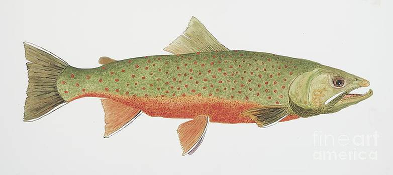 Study of a Male Dolly Varden Char by Thom Glace