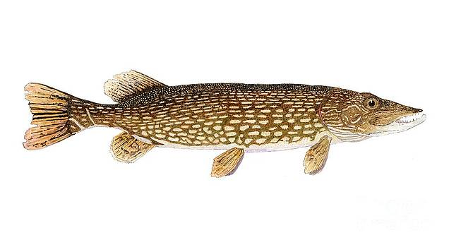 Study of a Northern Pike by Thom Glace