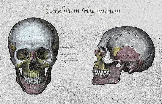 Study of The Human Skull by T Lang