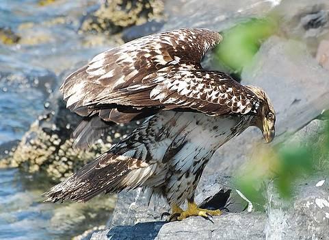 Sub Adult Eagle by Barbara Mundt