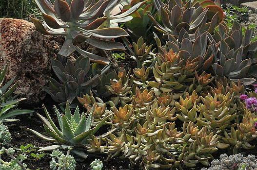 Rosanne Jordan - Succulent Colors