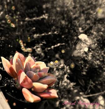 Allicat Photography - Succulent Dew