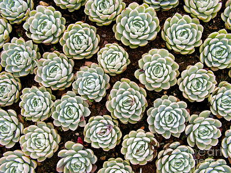 Succulents by Carolyn Kami Loughlin