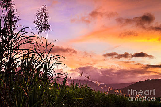 Sugar Cane in Far North Queensland by Silken Photography