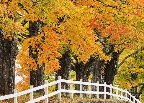 Sugar Maple Color by Alan L Graham