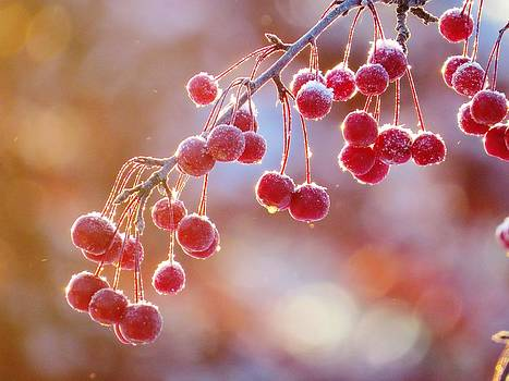 Sugared Crab Apples by Lori Frisch