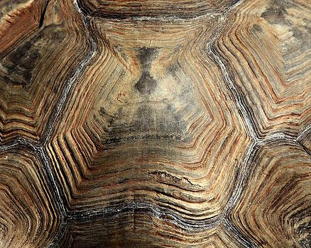 Erin Tucker - Sulcata Tortoise