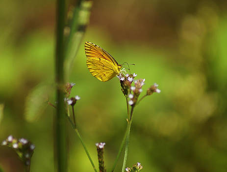 Sulphurs Butterfly by Kim Pate