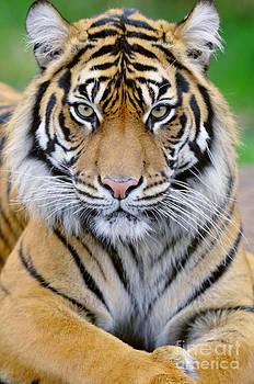 Thomas and Pat Leeson - Sumatran Tiger